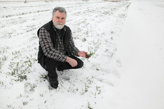 Agriculture, farmer inspecting wheat plant in field under snow, winter time