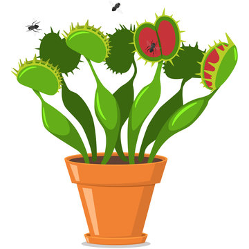 Venus fly trap in a pot. Vector cartoon flat icon of plants isolated on white background.