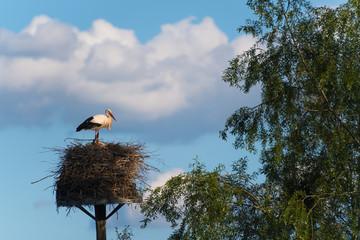 Storch im Nest bewacht die Jungtiere
