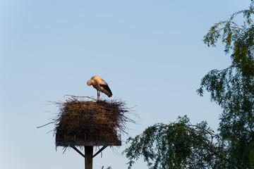 Klapperstorch im Nest putzt sich