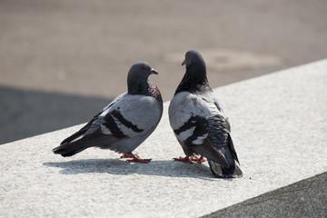 relazione tra piccioni