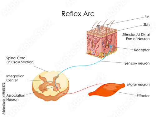 Education chart of biology for reflex arc diagram stock image and education chart of biology for reflex arc diagram ccuart Image collections