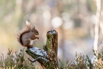 Red Squirrel (Sciurus vulgaris) feeding in pine forest