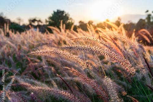 Wall mural Grass flower at sunset.