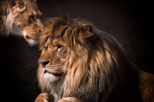lion and lioness together