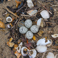Little Ringed Plover Eggs on Beach
