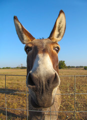 Donkey - closeup view.