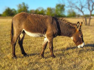 Walking donkey in position side view. Cute animal standing on a farming pasture with dry grass background.