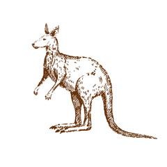 Hand drawn kangaroo portrait. Sketch, vector illustration.