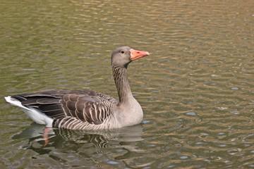 Schwimmende Graugans (Anser anser)