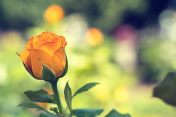 Beautiful orange rose on green branch with on plain green background