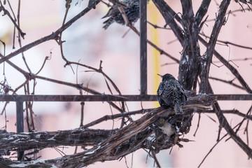 European starling bird on grape vine while snowfall