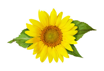 Yellow sunflower and green leaves