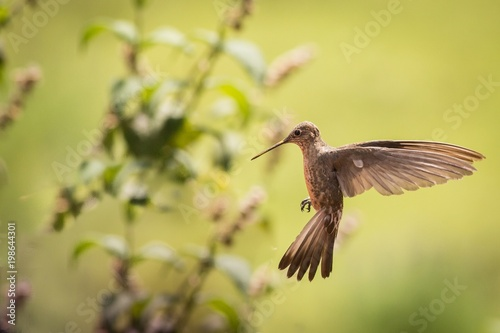 close up giant hummingbird patagona gigas stock photo and royalty