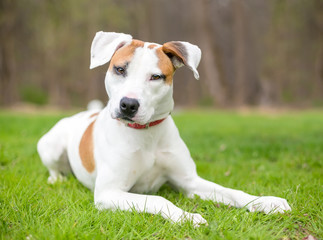 A young Hound mix dog lying in the grass
