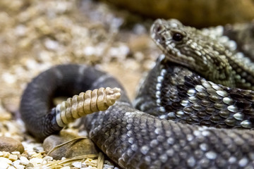 Rattlesnake - Crotalus durissus, poisonous. Dangers.