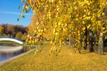 Birch at Autumn Day