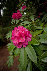 New Zeland, flower,rose, hibiscus