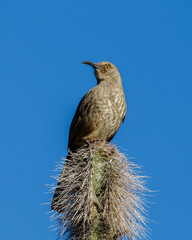 Curve-Billed thrasher perced atop a tall cactus in Arizona's Sonoran desert.