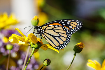 Monarch butterfly feeds on a bright yellow flower in Arizona's Sonoran Desert.