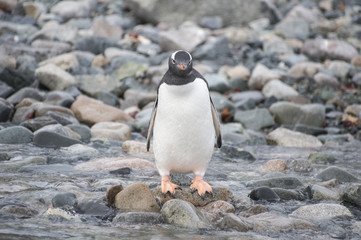 Gentoo Penguin on the beach