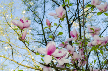 Beautiful magnolia flowers in  spring
