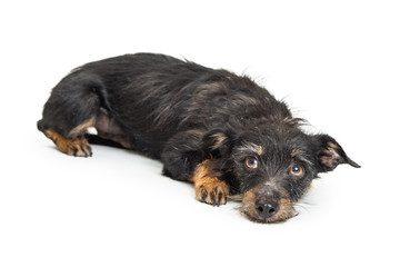 Small Dog Lying Down With Guilty Expression