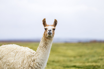One isolated llama in the Altiplano
