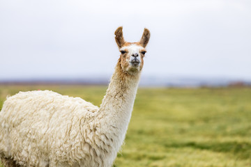 One white and brown llama in the Altiplano