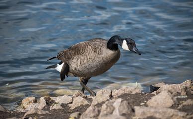 Canada Goose Walking On Water