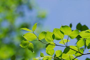 Fresh growing green tree leaves in spring