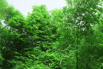 Close up on green leaves of bamboo forest
