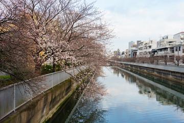 仙台堀川 桜
