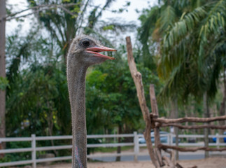 Ostrich stretch its long neck looking forward to feeding from visitor in the zoo