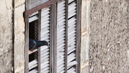 pigeon dans maison abandonnée