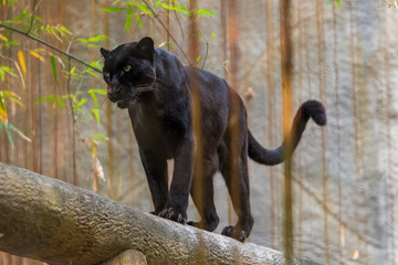 Foto auf Leinwand Panther A black panther is the melanistic color variant of any big cat species. Black panthers in Asia and Africa are leopards and those in the Americas are black jaguars.