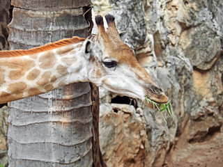 Head of a Giraffe Eating Grass  Isolated Nature Background