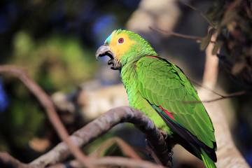 Turquoise-fronted Amazon (Amazona aestiva, aka Turquoise-fronted Parrot) Yawning. Pantanal, Brazil