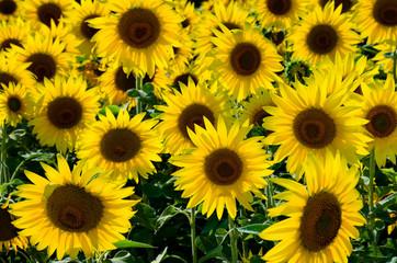 Поле с цветами подсолнуха