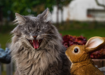 Laughing grey longhaired cat and a rabbit