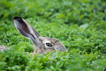 Hare hare in the grass. Wild natural conditions