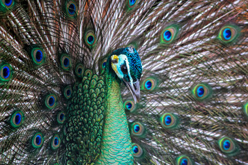 Close-up of beautiful peacock with feathers out