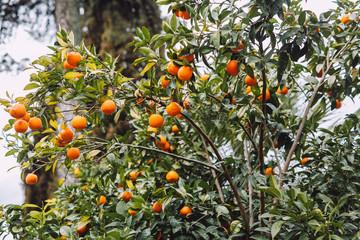 Tree with many tasty mandarin