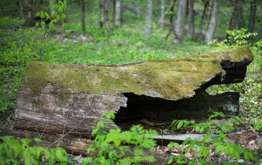 Hollow old tree covered with moss in the forest.