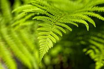 Matteuccia struthiopteris - an ostrich fern closeup with perfect leafage