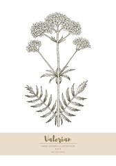 Valerian illustration.