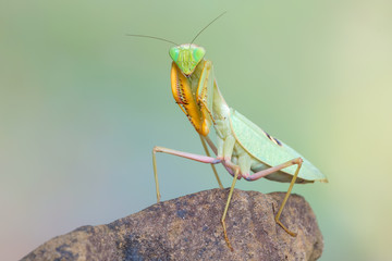 praying mantis - Sphodromantis sp.