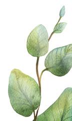 Watercolour green eucalyptus card on white background.