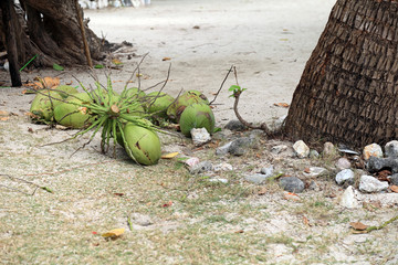 Coconuts fell from coconut palm