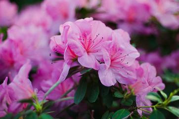 Blossoming pink azalea close up in garden
